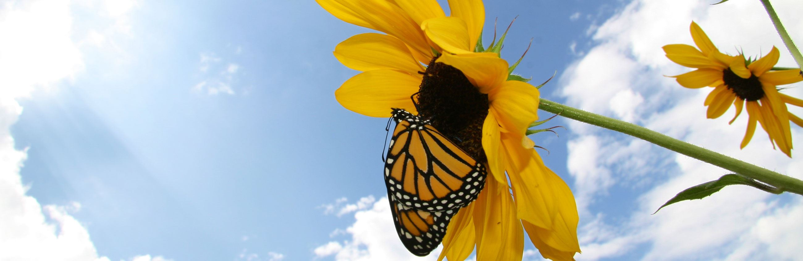 butterfly on sunflower with blue skies