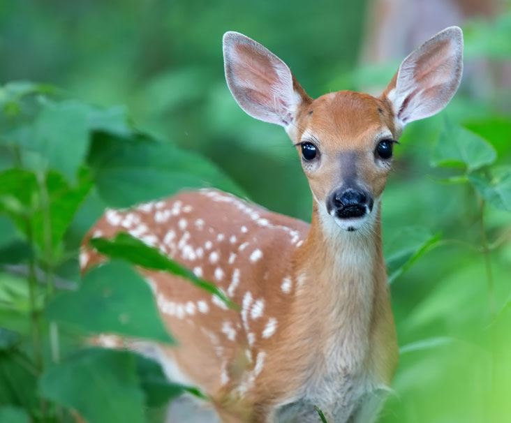 Little fawn looking at camera.
