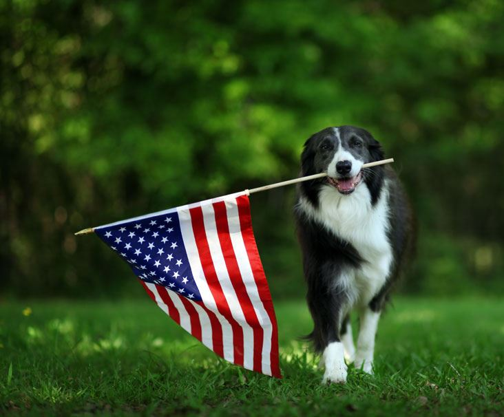 Dog carrying American flag in mouth