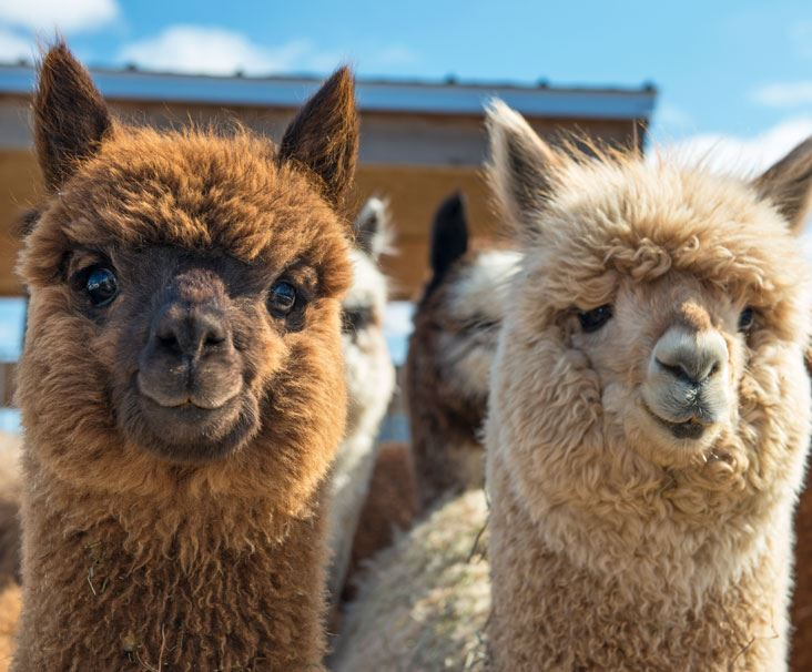 Brown and white alpacas facing camera