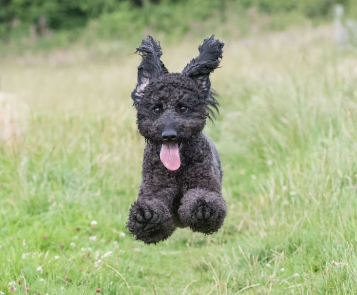 Labradoodle Running In Field